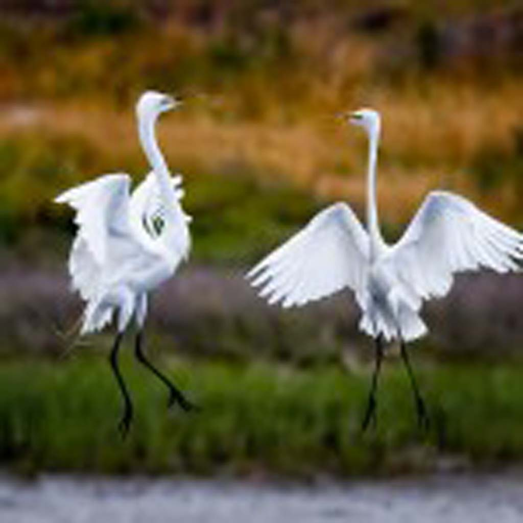 "Great egrets ""dance"" over Batiquitos Lagoon. Photo courtesy of Mark Drawbridge"