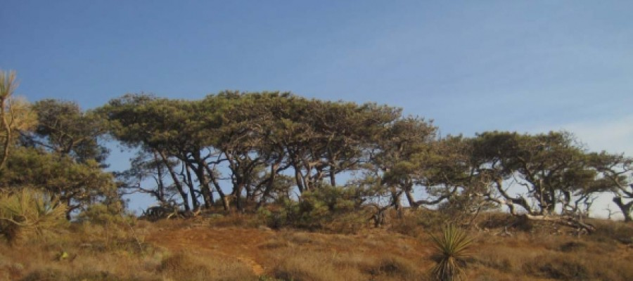 Journey of the Torrey pine