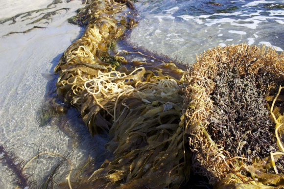 Kelp forests are one of the most productive ecosystems