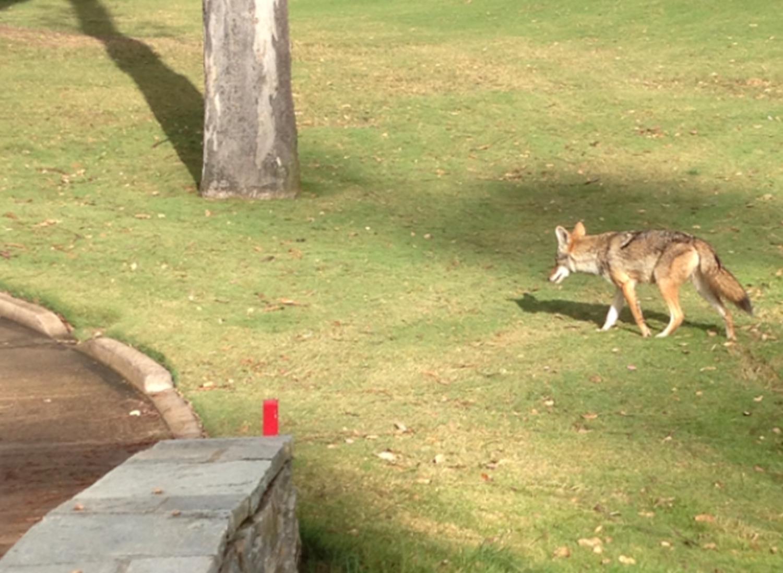 Coyote pesters golfers in Rancho Santa Fe