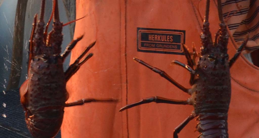 Local lobster prices continue on a roller coaster ride