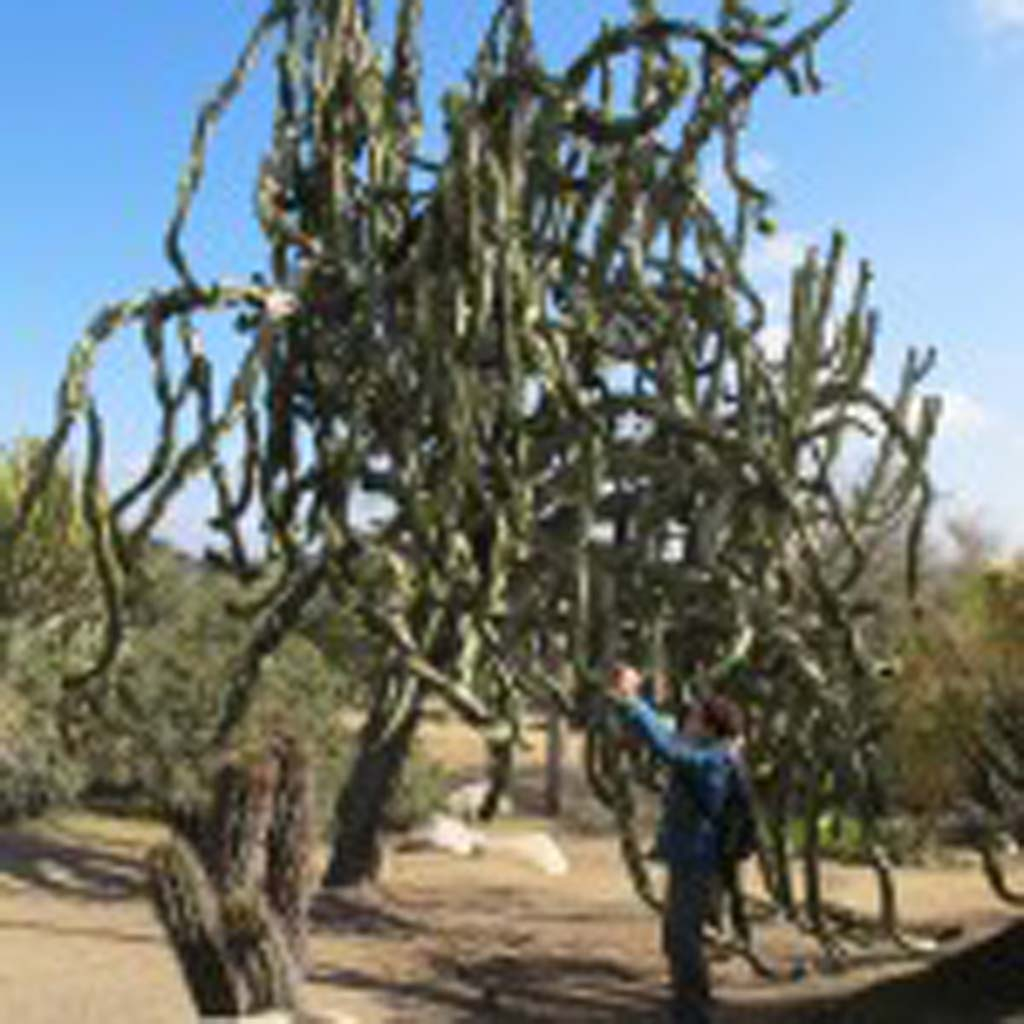 This is just one of the huge cacti that walkers will encounter in the cactus and succulent garden along Park Avenue in Balboa Park. [Photo by Laurie Brindle].