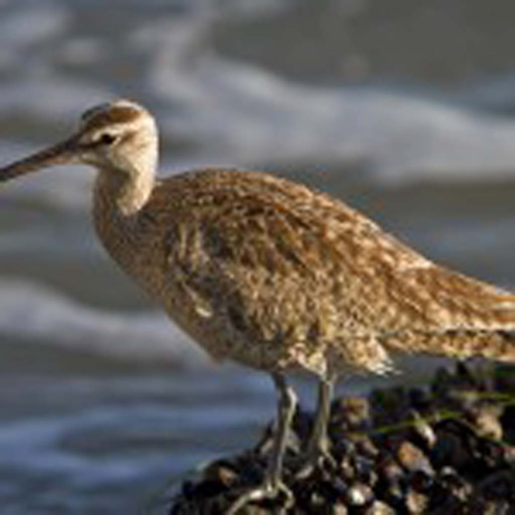 A whimbrel perches on a bed of muscles at Swami's tide pools. Photo by Daniel Knighton