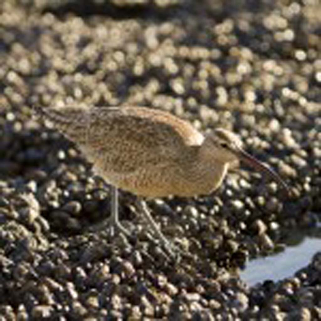 A whimbrel searches for a tasty meal around the tidal pools at Swami's.  Photo by Daniel Knighton