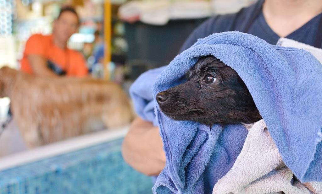 Foster-dog's like Windy get a bath and lots of TLC through San Diego Humane Society's Foster Care Program volunteers. To become a foster pet parent, visit sdhumane.org. Courtesy photo