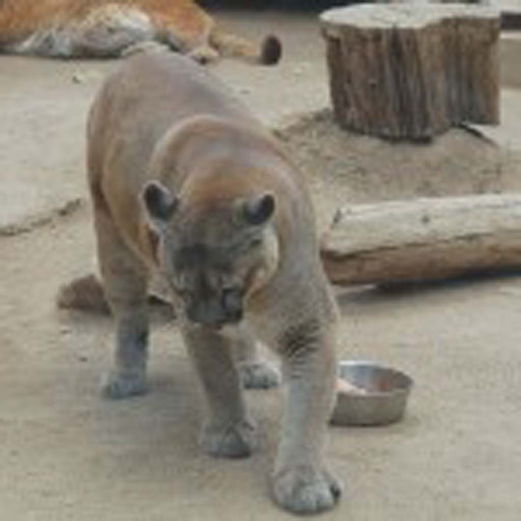 This female mountain lion is one three sisters brought to the Big Bear Alpine Zoo in 2002 after their mother was shot by a rancher. One of the triplets died at age 2 from a form of cancer, but the other two, Cascade and Canyon, are doing well but cannot be returned to the wild. The zoo had its origins in 1959 after a fire devastated the San Bernardino National Forest and many animals needed rescuing. Most were rehabilitated and returned to the wild. Zoo supporters are raising money to move the facility to a roomier, 10-acre parcel nearby. [Photo by Jerry Ondash]