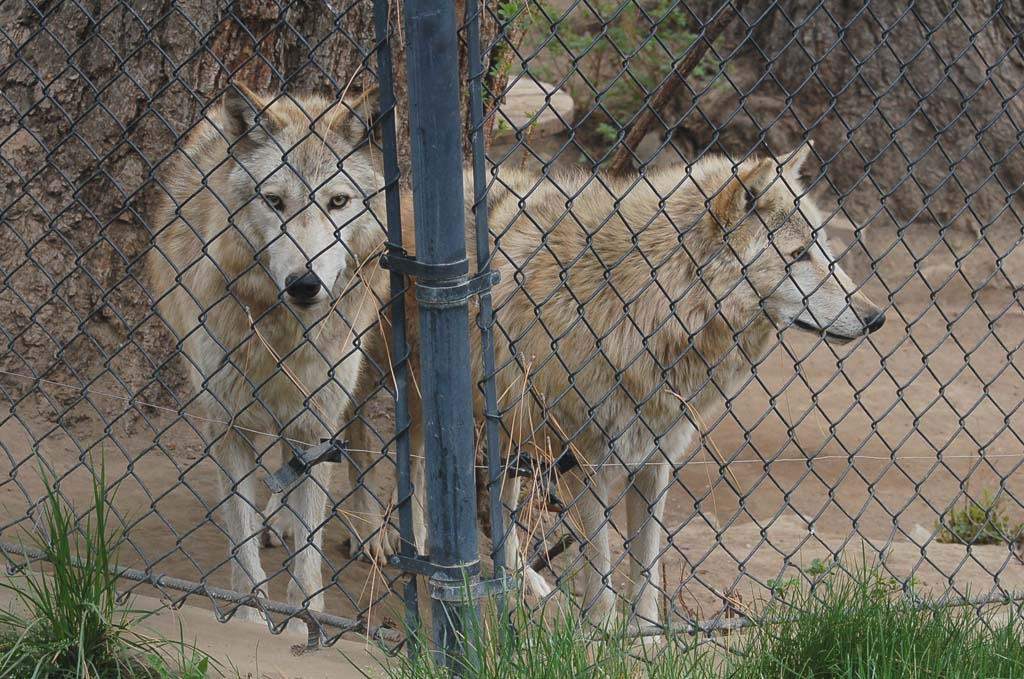 The Big Bear Alpine Zoo has a dozen timber wolves, which can live in captivity up to 18 years (six to eight in the wild). In 2009, nine pups were born at the zoo. Although the zoo had a breeding permit, all of the wolves have been fixed. [Photo by Jerry Ondash]