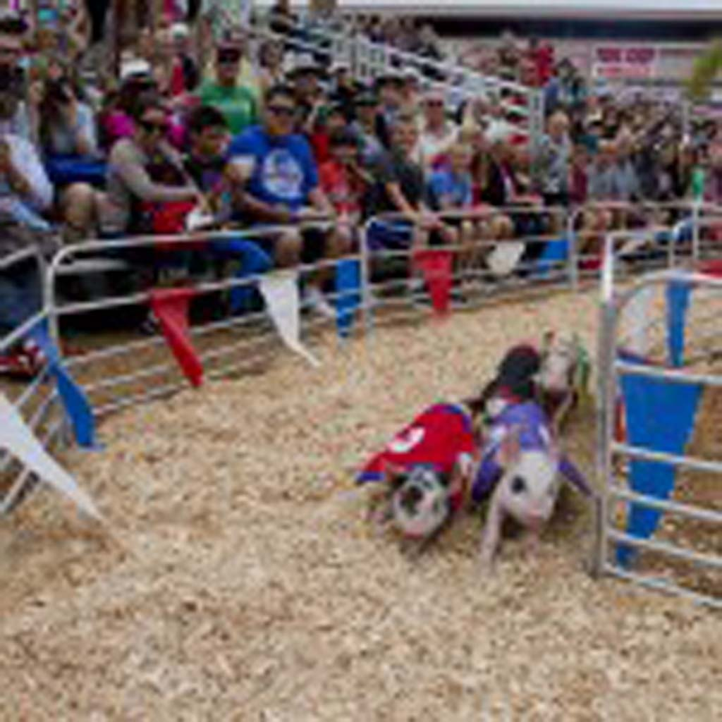 The Swifty Swine Pig Races are a perennial favorite at the fair. Photo by Daniel Knighton