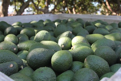 Report: Avocado crop values are down
