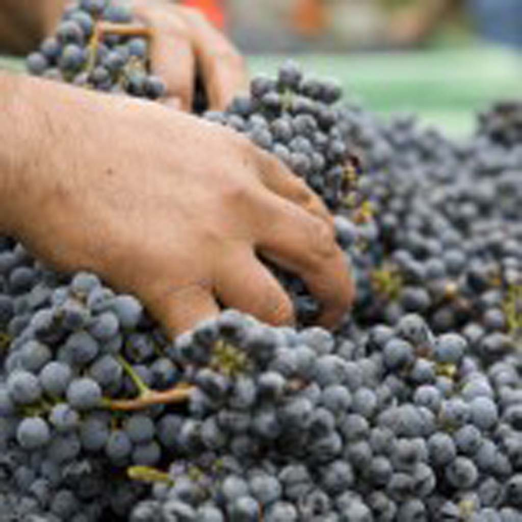 Grapes made into wine are helped along during the winemaking stage by a number of additives, assuring its preservation and flavor. Photo courtesy of Napa Valley Vintners