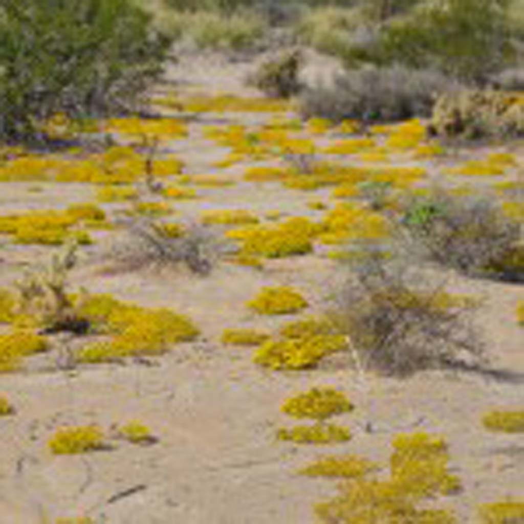 A carpet of golden yellow blankets the desert floor near Borrego Springs in October – an unusual time of year for blooms. Normally such displays aren't seen until the spring months following the winter rains. A short but effective October deluge gave life to these opportunistic bloomers.