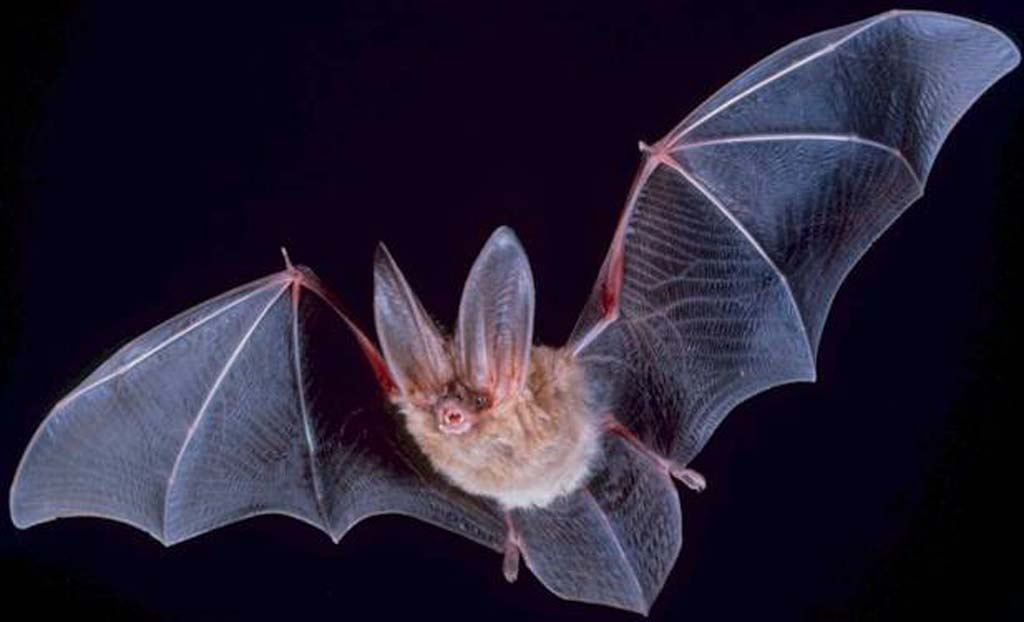 Have you seen a big-eared bat lately?
