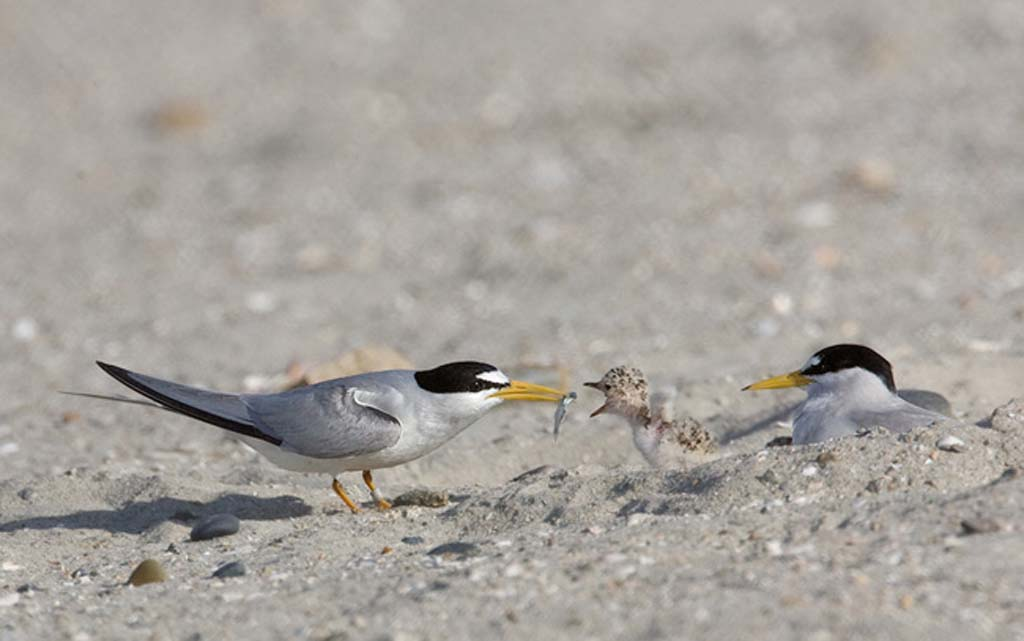 The California Least Tern has foraged in the lagoon, but for the past 12 years they haven't been spotted nesting there. Photo by Chris Mayne