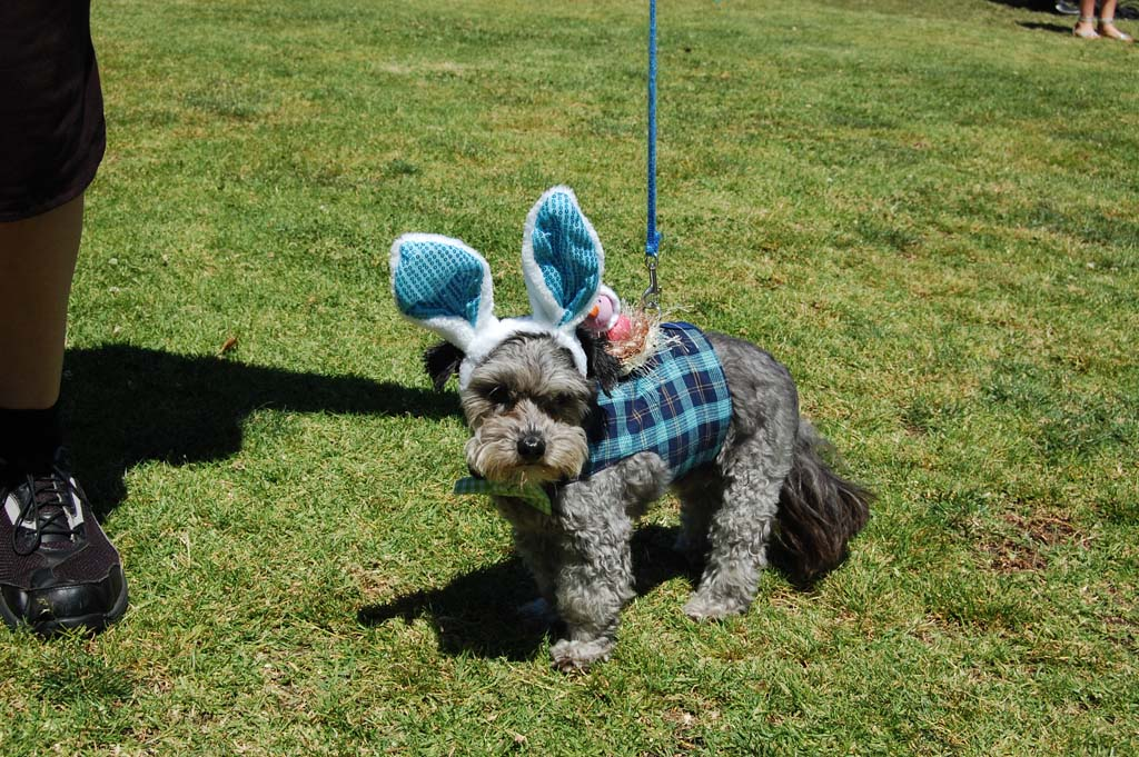 Ruffy, a schnauzer poodle owned by Jan Savage, is part of the three-dog team that entered the best costume contest . Ruffy and teammates Suki and Sammy won first prize dressed as the Easter parade. Photo by Bianca Kaplanek