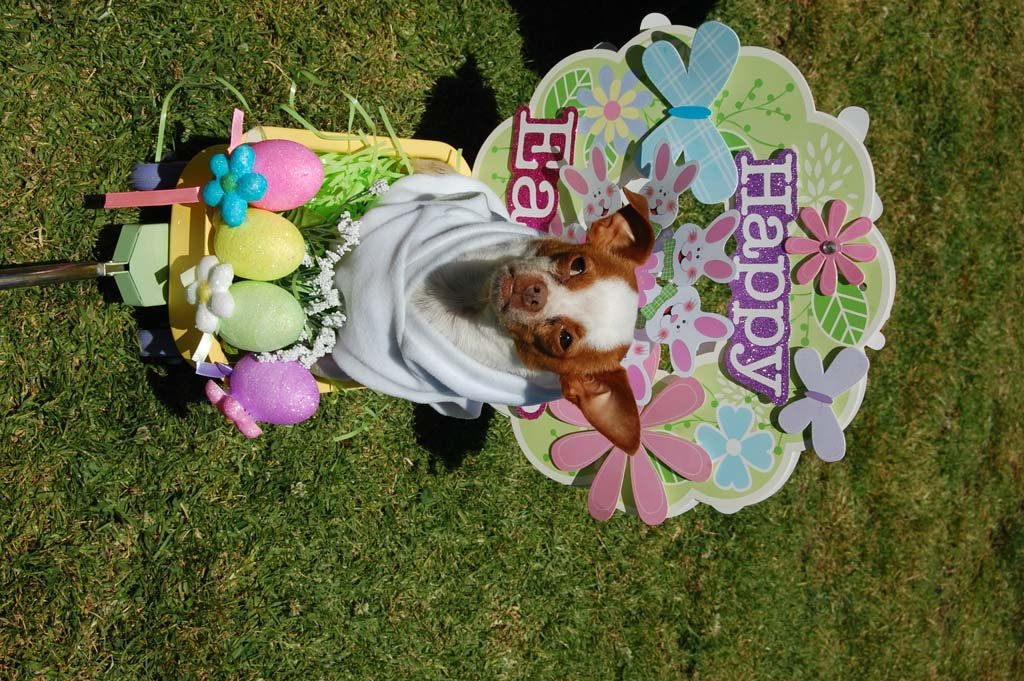 Sammy, a Chihuahua owned by Jeanne Patton, is part of the three-dog team that entered the best costume contest. Sammy and teammates Suki and Ruffy won first prize dressed as the Easter parade. Photo by Bianca Kaplanek
