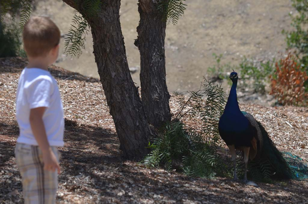 A youngster and a male peacock have themselves an old fashioned standoff. Photo by Tony Cagala