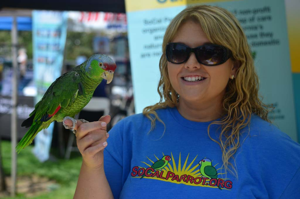 Amanda Plante, development director of SoCal Parrot, with 7-year-old Hilo, a Lilac-Crowned Amazon parrot at the Encinitas Environment Day. Photo by Tony Cagala