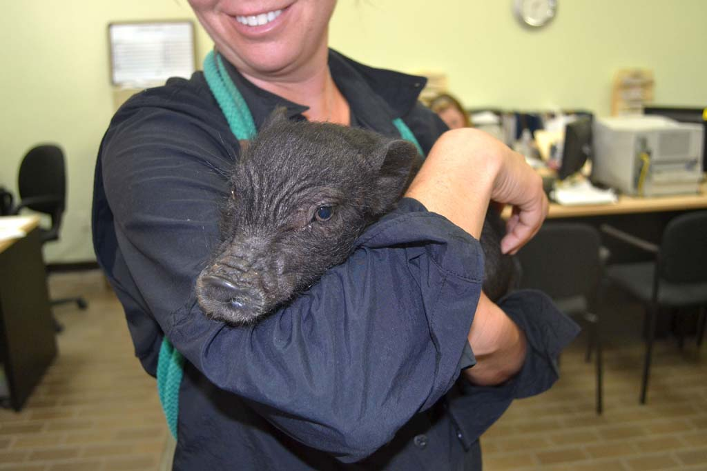 This little piggie dropped by animal shelter