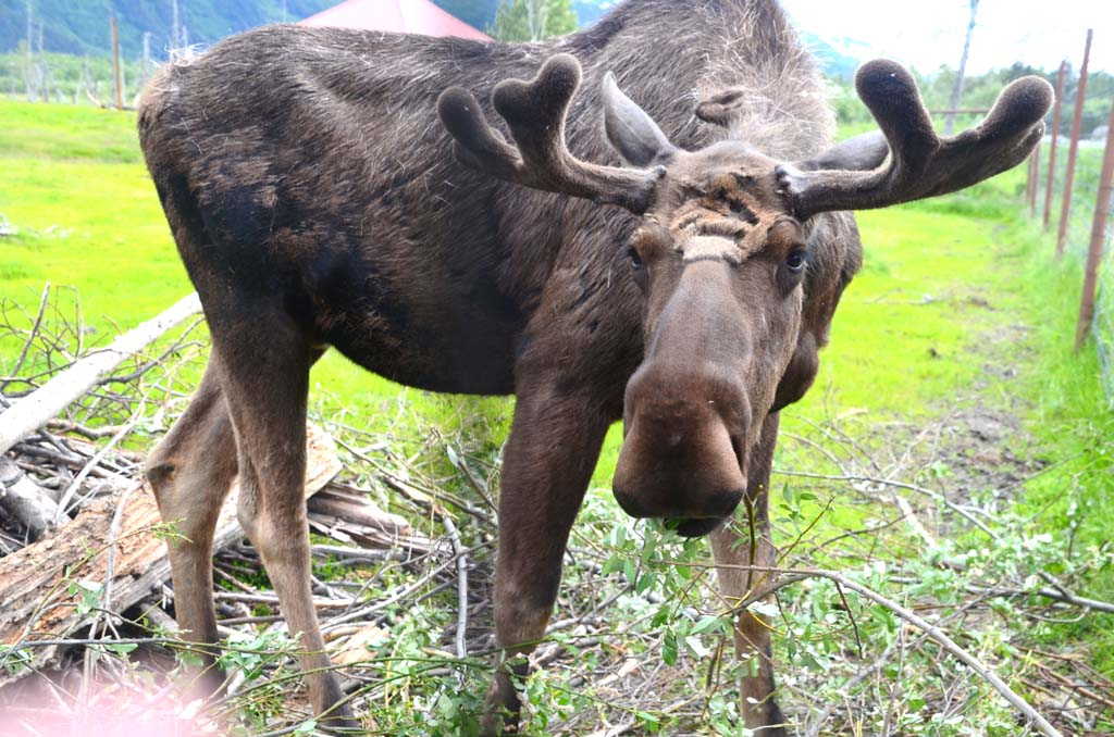 This moose is a resident of the Alaska Wildlife Conservation Center, located on the highway that runs from Anchorage to Seward. The center rehabilitates wounded or orphaned animals, and when possible, returns them to the wild.