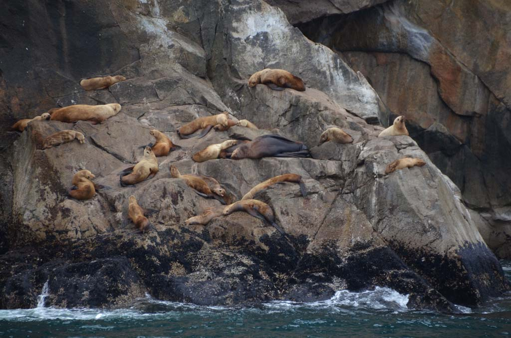 These Steller sea lions, dependant on cold water for an abundant food source, could be endangered if ocean waters warm. These residents of Kenai Fjords National Park are most visible from early spring until late July. Male Steller sea lions weigh an average of 1,500 pounds, but cam weigh as much as 2,400 pounds.