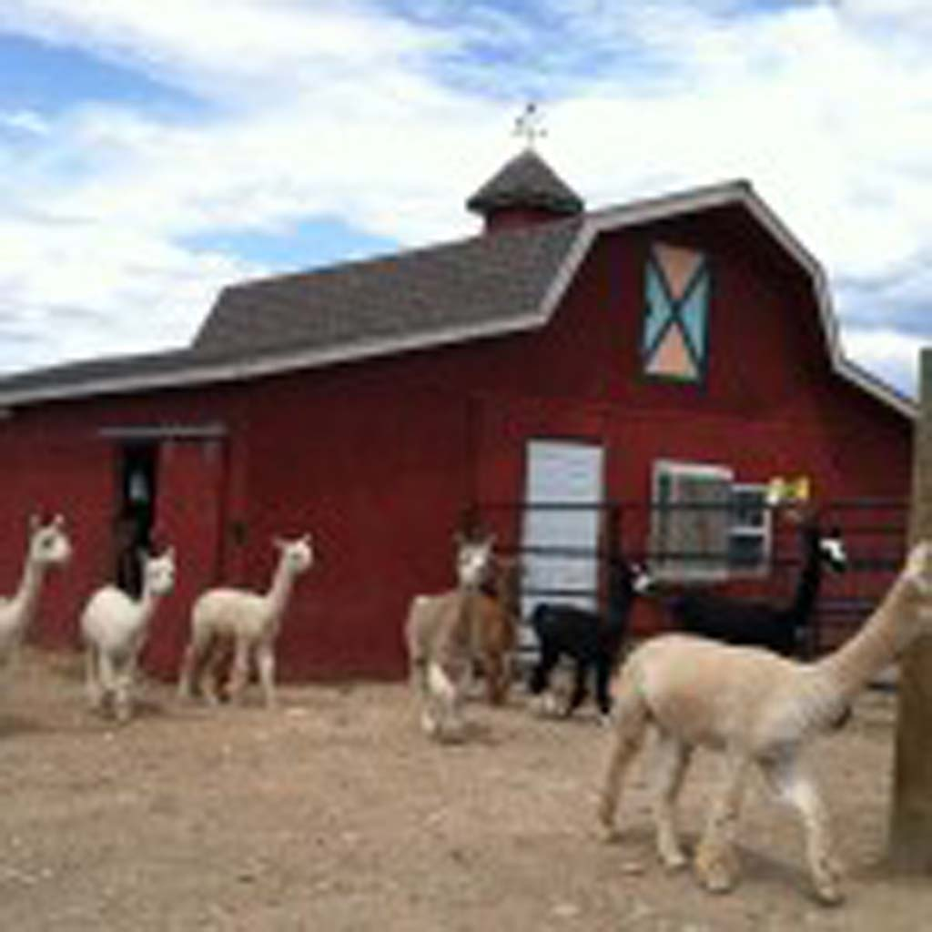 Some of the 50 alpacas at Sun Crest Orchard Alpaca Farms trot over to greet visitors. Owner Mike McDermott says the value of the animal is in the density of its hair. It takes a labor-intensive, 15-step process to transform alpaca hair into yarn.