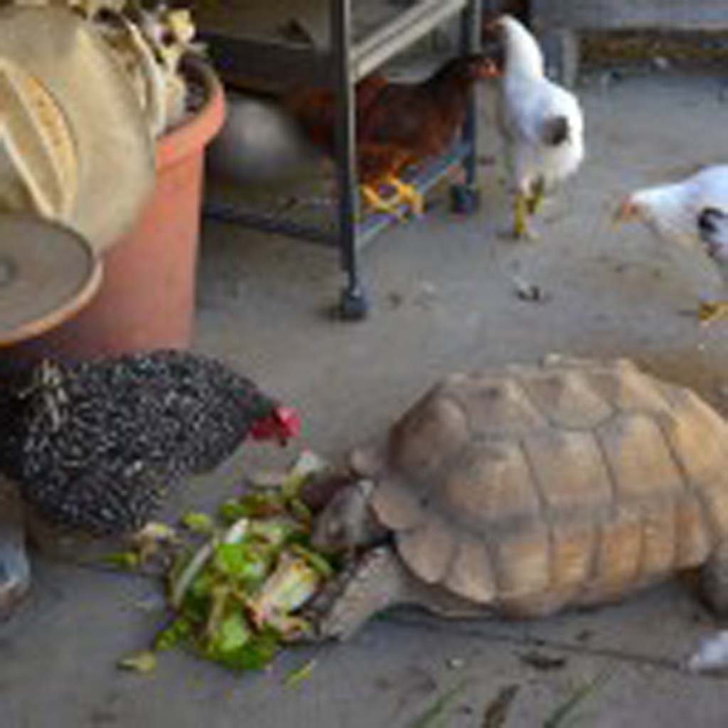 Tortellini the Tortoise chows down on lettuce from the kitchen at Alisal Guest Ranch and Resort, about three miles south of downtown Solvang. The ranch has long been a place where animals who can't survive in nature can call home. Children of guests love to come to feed and interact with the animals, including miniature ponies, ducks, cockatoos and chickens. (Photo by Jerry Ondash)