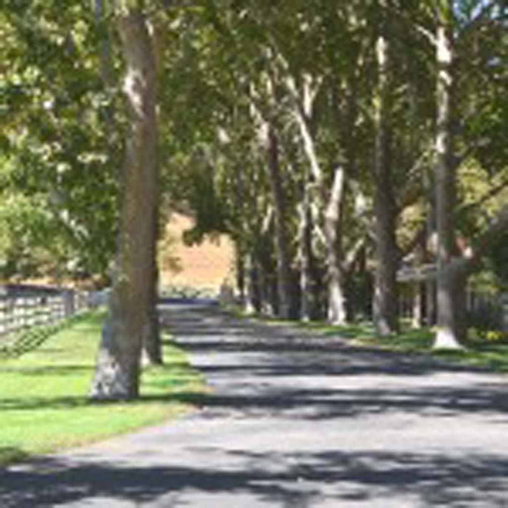 """Grand sycamores line the entry driveway to Alisal Guest Ranch and Resort near Solvang in Santa Barbara County. Alisal is the Chumash Indian word for """"grove of sycamores."""" The bunkhouses were converted into guest quarters in 1946. Renovation of all the rooms was completed recently. (Photo by Jerry Ondash)"""