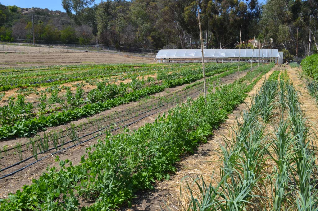 "A proposed ordinance in Encinitas may pave the way for the city to return to its agricultural roots by setting up a new type of permit that would allow recipients to have even larger farms and gardens, sell from larger stands and host twice as many so-called ""agri-connect"" events per year. File photo"