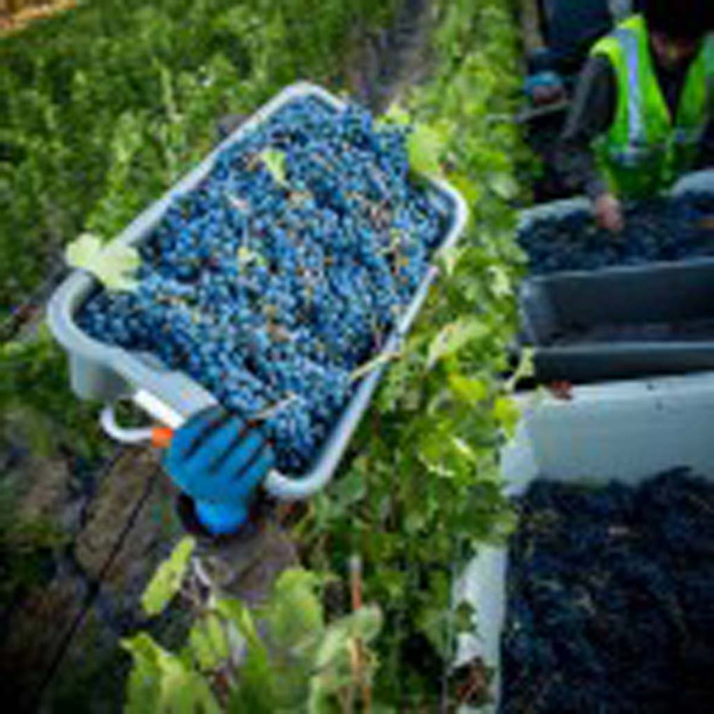 Fresh, handpicked Cabernet Sauvignon grapes are placed in bins during the Napa Valley harvest. Photo courtesy Napa Valley Vintners