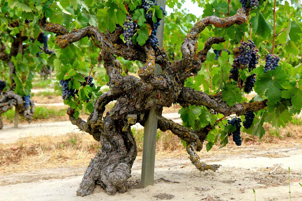 This Old Vine Zinfandel from Lodi was planted in 1901, some 113 Years ago and is still producing fruit of great intensity. Photo courtesy Lodi Vintners