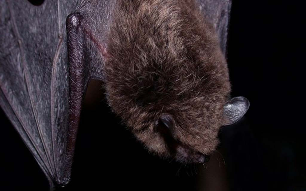 Five children, others may have potentially come into contact with a rabid bat in San Marcos last week. The County of San Diego is seeking to find anyone that may have been in contact with the animal. Photo courtesy PhotoSpin