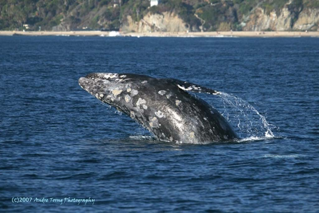 The gray whales' 14,000-mile, round-trip journey from Alaska to Mexico began a few weeks ago, so the giant mammals are currently passing by the shores of Southern California. The whale is so named because of the gray patches and white mottling on its dark skin. They move between 3 miles-and-hour and 6 miles-an-hour.  (Andrew Toring Photography)