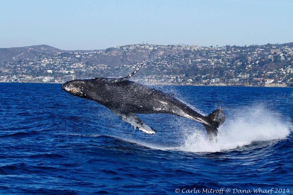 This juvenile humpback was captured about two weeks ago by naturalist and photographer Carla Mitroff while aboard the Dana Pride, a whale-watching boat from Dana Wharf Whale Watching. The humpback was seen breaching at least 30 times. Whale-watching trips leave several times a day. Courtesy photo