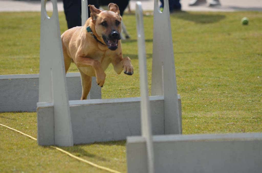 A dog flies through an obstacle course during a demonstration at the Maggie Houlihan Memorial Dog Park. Photo by Tony Cagala