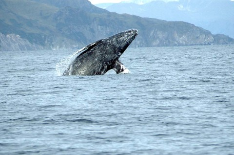 Gray whales more visible from shore