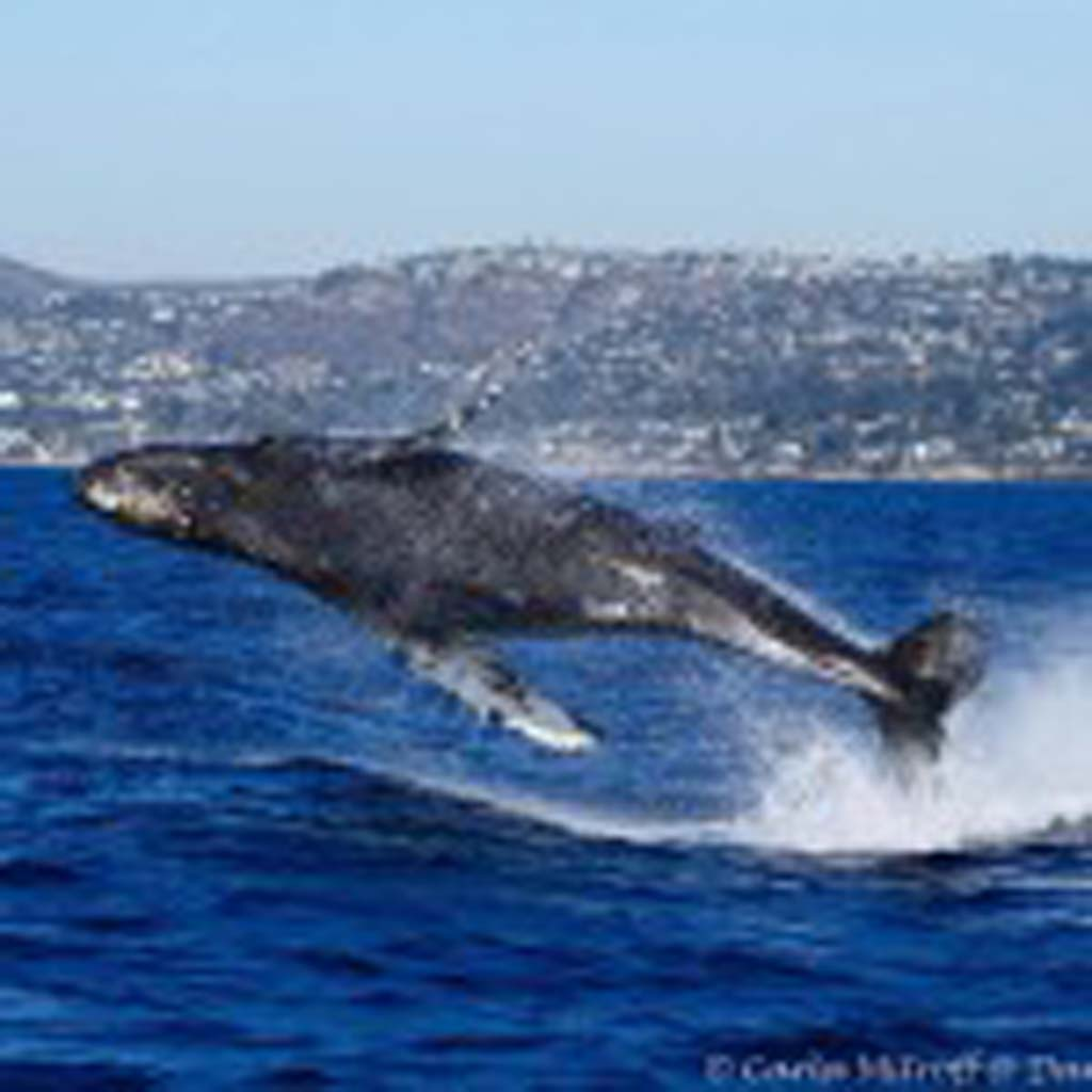 "Carla Mitroff, a certified marine naturalist with American Cetacean Society, took this photo of a juvenile breaching humpback whale November 2014 just off the coast of Dana Point. When it comes to taking these types of photos, ""you have to have patience,"" she says. ""Sometimes it's just sitting around and waiting for a moment."" Best to shoot with the light behind you and not when the sun is high and harsh. Photo by Carla Mitroff"