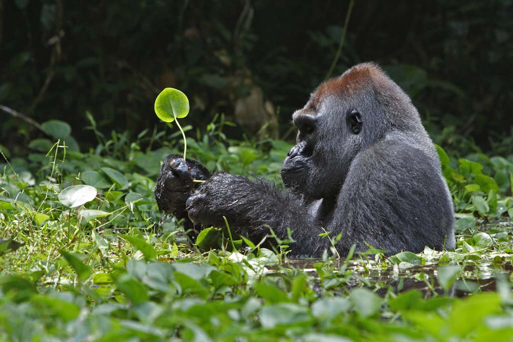 A silverback gorilla ponders a leaf while sitting in a swamp in the Democratic Republic of the Congo for hours. Photograph by Ian Nichols