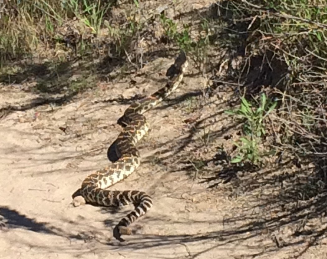More snake sightings doesn't necessarily mean there's more of them