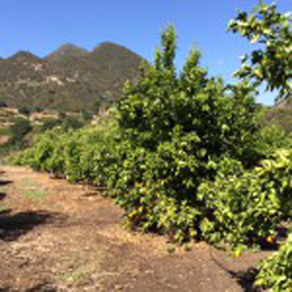 Rows and rows of Pixie tangerine trees on Friend's Ranch bask in the Ojai Valley sun. The land has been in the Friend family since 1920. Pixies usually ripen from March through the summer, but this year's crop came in a bit early because of the unusually warm weather.
