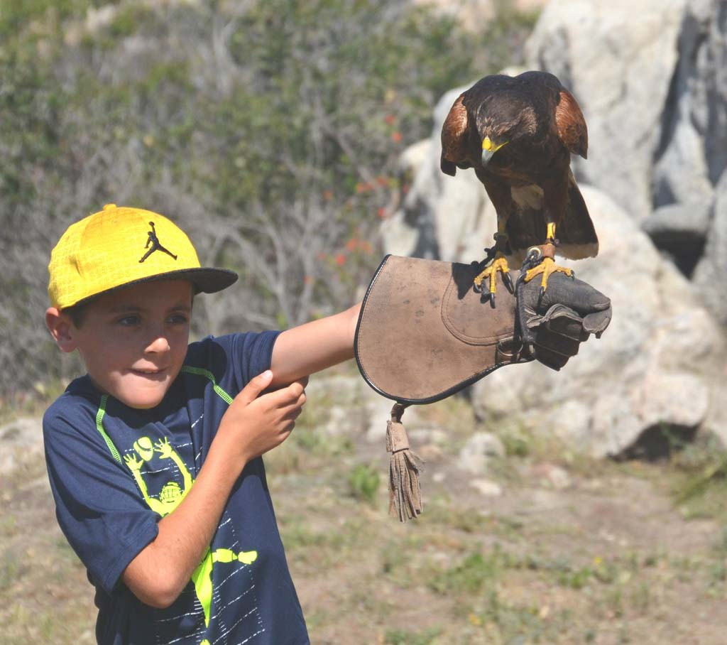 Jordan Barnhart, 8, of Carlsbad, eases into his introduction to Hayduke, a Harris's hawk that performs for visitors at Sky Falconry in Alpine.