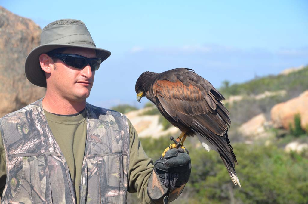 """Hawks can fly away at any time, so developing loyalty means creating and maintaining a positive relationship with the birds. """"That means no negative reinforcement,"""" advises Kirk Sellinger."""