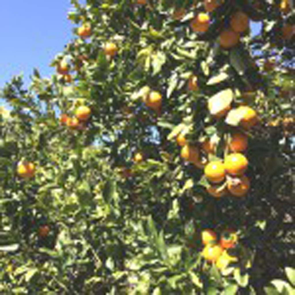 Pixie tangerines are the perfect fruit, say some. They are small, sweet, seedless and easy to peel. Visitors who come to Friend's Ranch for the tour can sample many types of citrus, then fill their bags for $2 a pound.