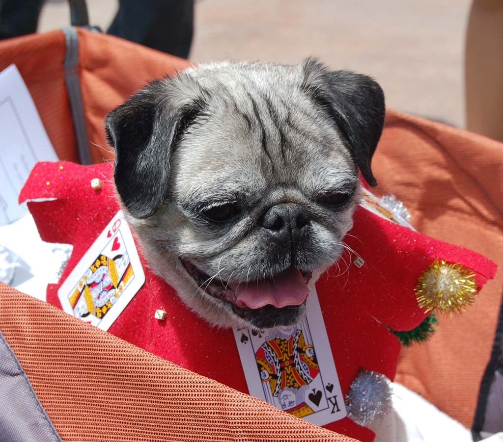 Boba, owned by La Mesa resident Liz Bois, is dressed as a jester. Photo by Bianca Kaplanek