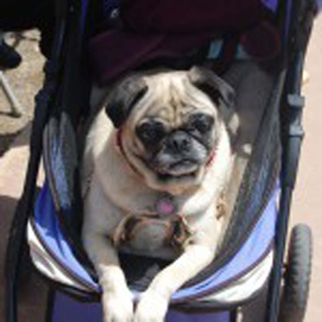 Eight-year-old Rainbow, owned by Krista Sexton of San Marcos, takes a break from all the pugtivities. Photo by Bianca Kaplanek