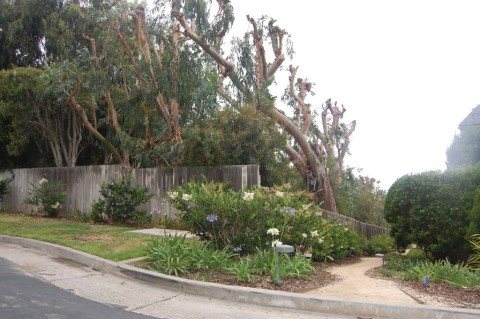 Residents in Del Mar want eucalyptus trees removed