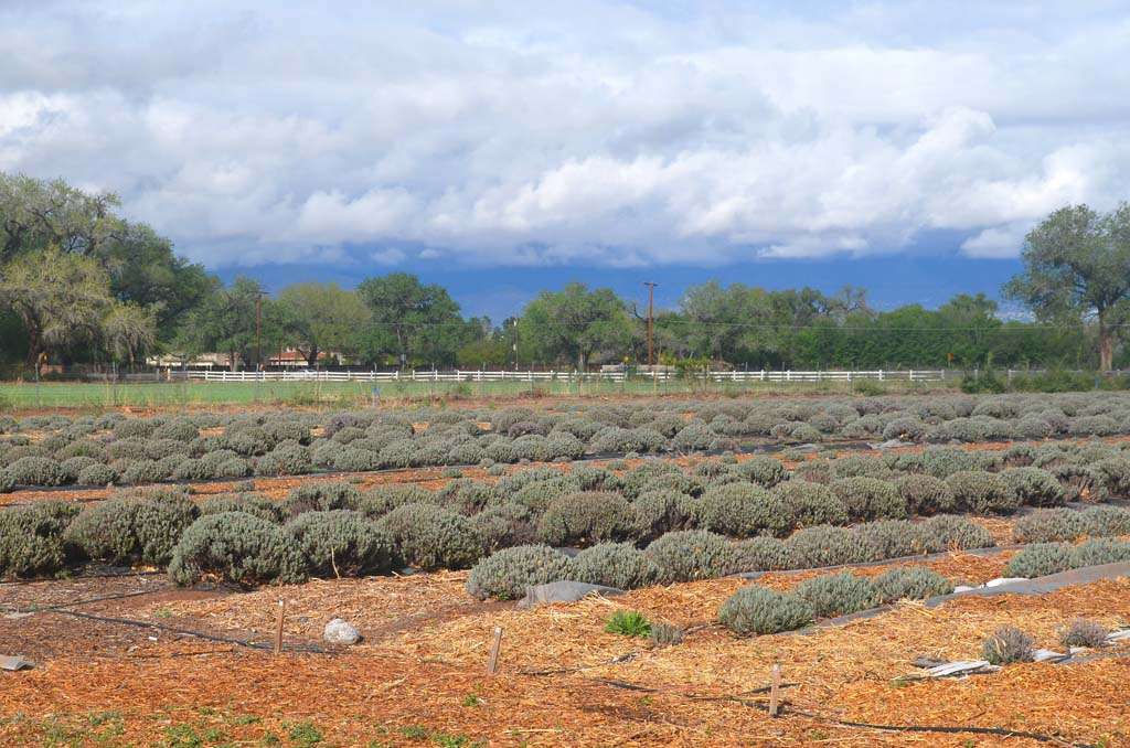 Land that was originally inhabited by Anasazi (ancient Pueblo Indians) now serves as lavender fields at Los Poblanos Inn and Organic Farm. The fields were first planted in 1999, and visitors can find products from these fields in the gift shop.