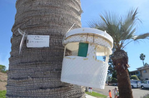 Bucket on Moonlight palm part of statewide weevil hunt