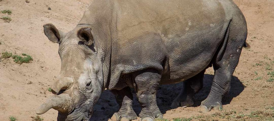 Nola the rhino dies; only three left in the world