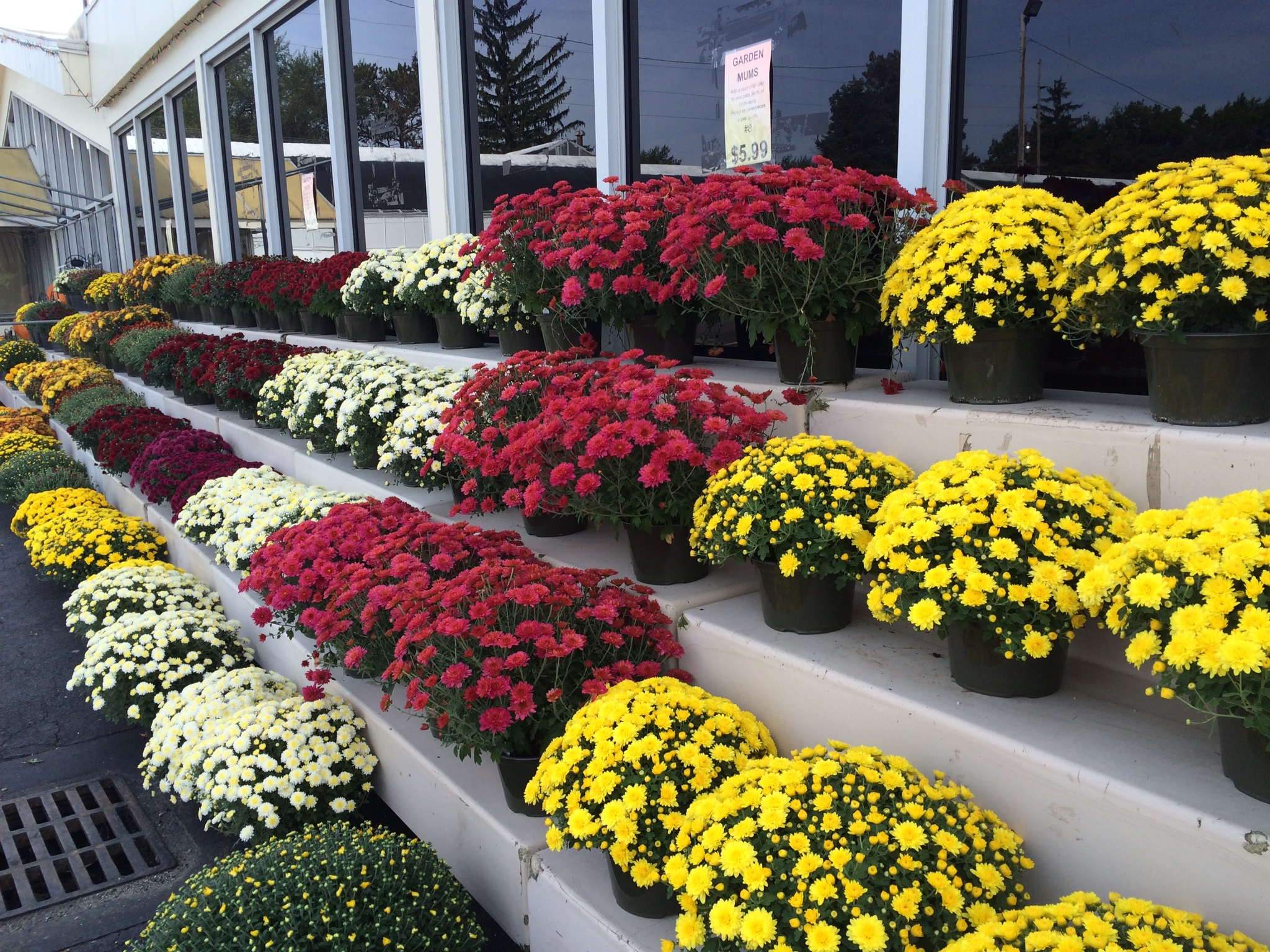 Even though Kraynak's starts its Christmas season in September, the store's greenhouses and off-site 700 acres grows seasonal plants, flowers and trees. Mums are ubiquitous in the Northeast and Midwest during the autumn months.