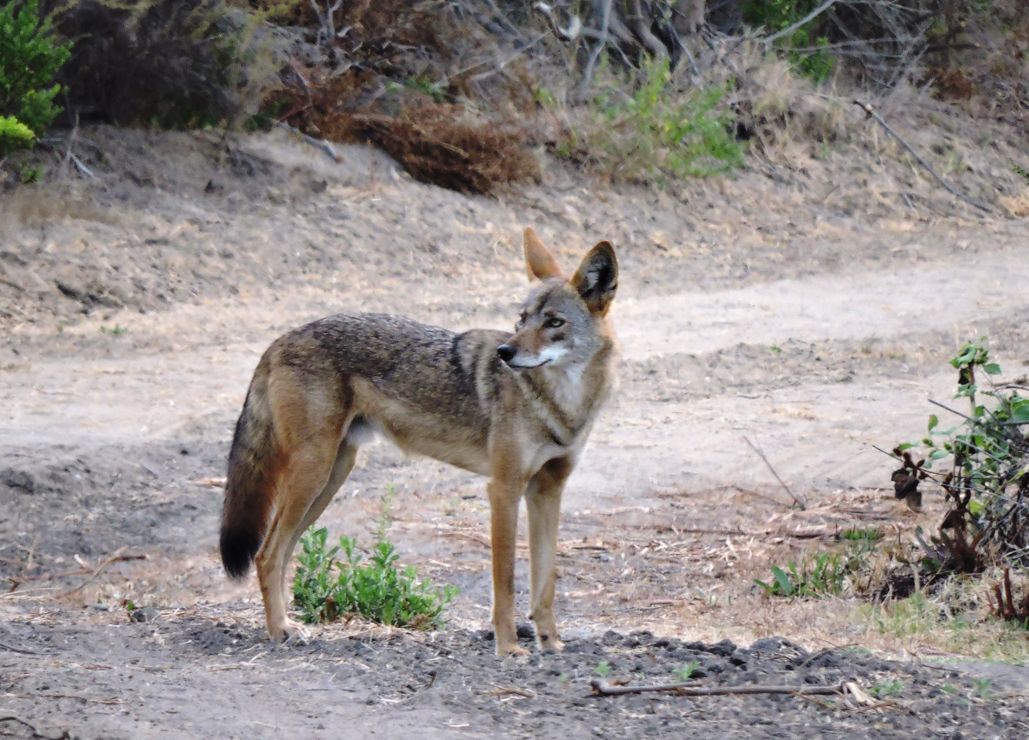 Ranger Todd Nordness captured this coyote in fall 2015 at Buena Vista Creek Ecological Reserve, just south of Highway 78 between College Avenue and El Camino Real. Photos by Todd Wordiness